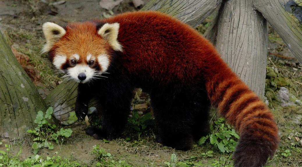 Red-Panda-Hd-Desktop-Wallpaper