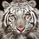 free_animal_wallpaper_of_tiger_[1]