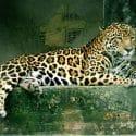 Panthera_onca