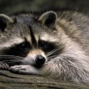 raccoon-animaux-2880x1800-wallpaper102882